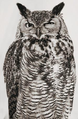Uhus / Eagle Owls