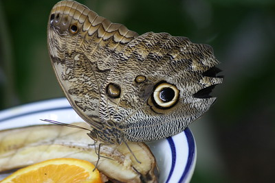 Almond-eyed Owl Butterfly