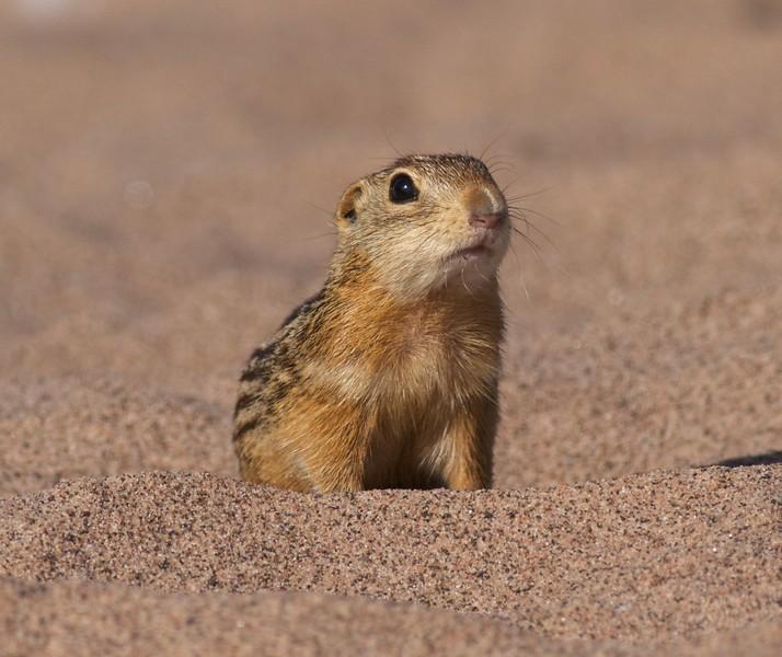 Thirteen-lined Ground Squirrel Wisconsin Point Superior WI IMG_0027983.jpg