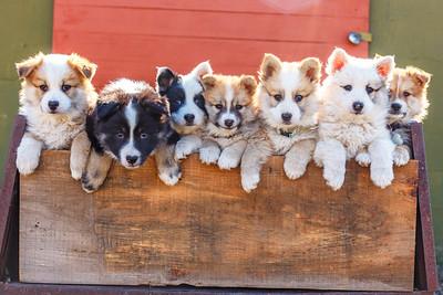 Icelandic Sheepdogs