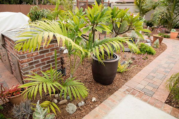 Autumn Cycad flushes 10/24/2016