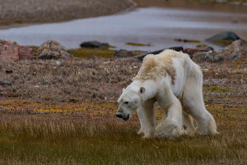 Starving-Polar-Bear-1.jpg