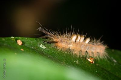 INSECT - hairy caterpilar-2176