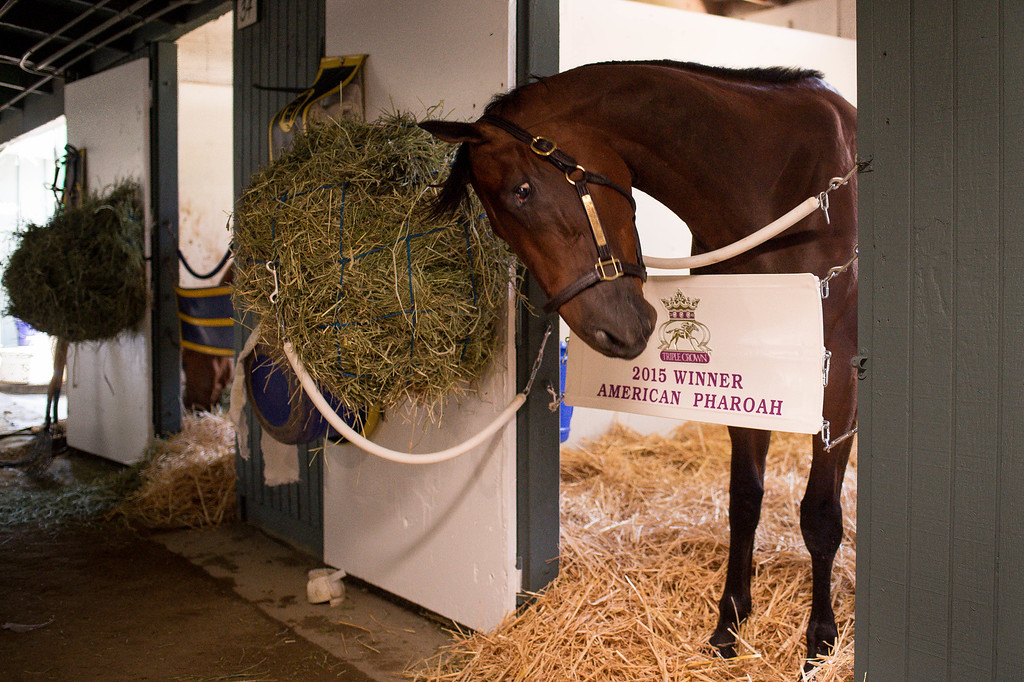 . Triple Crown-winner American Pharoah returns home to Bob Baffert\'s barn at Santa Anita Thursday, June 18, 2015. American Pharoah broke a 37-year Triple Crown drought by winning the Kentucky Derby, Preakness and Belmont Stakes. (Photo by Sarah Reingewirtz/Pasadena Star-News)