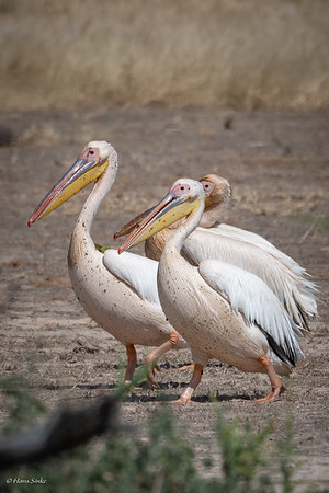 Pelican, Great White