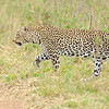 African Leopard (Panthera pardus pardus) walking in the grasslands of Masai Mara in Kenya, Africa