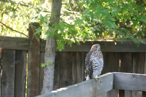 2012 Hawk