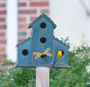 Warblers June 2011