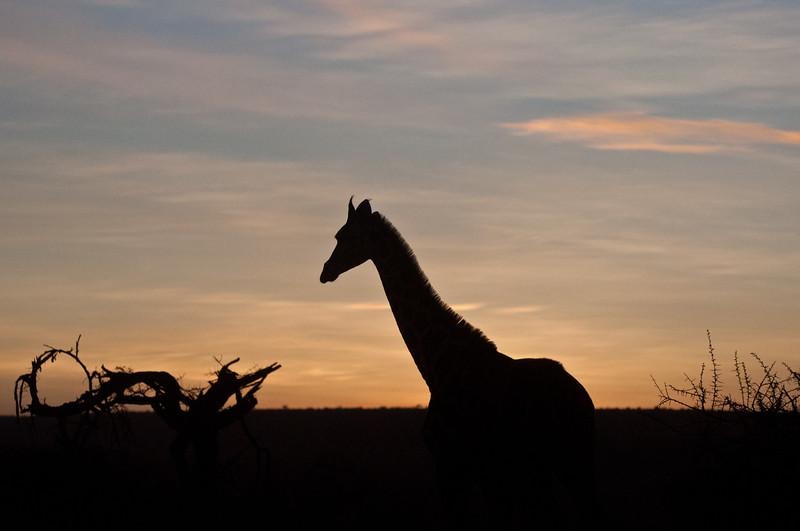 Giraffe outside Mpala
