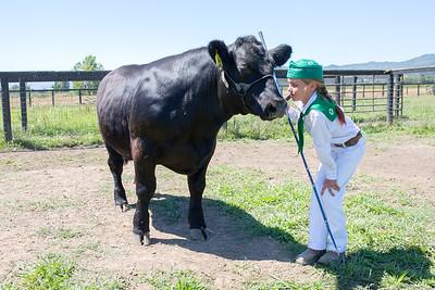 Raising 4H Steers in Potter Valley