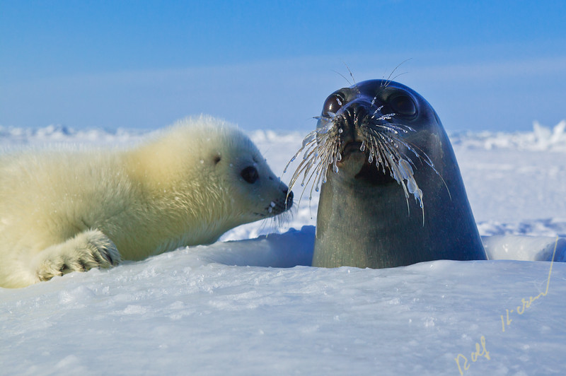 Heather and Paul McCartney on the Ice to Protect Seals. March 2.2006, Gulf of St. Lawrence.