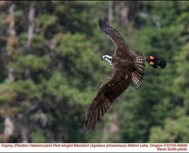 Osprey&RedWingedBlackbird46689.jpg