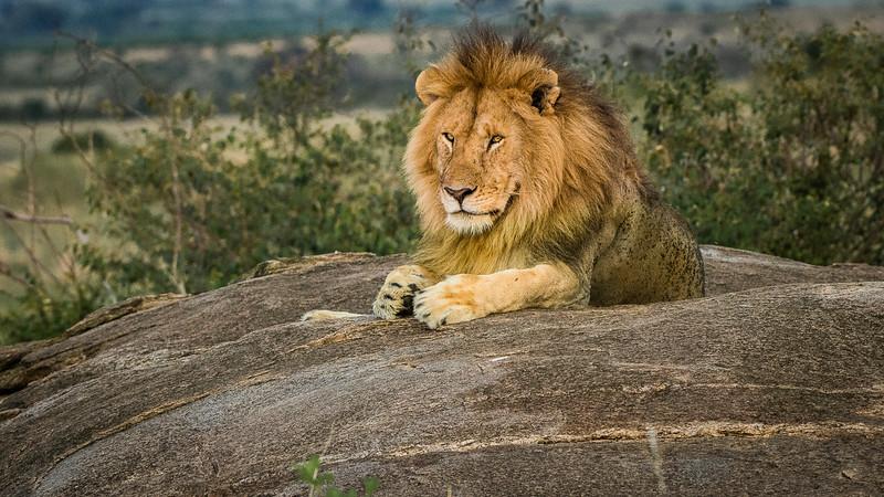 Lions-0102-2.jpg