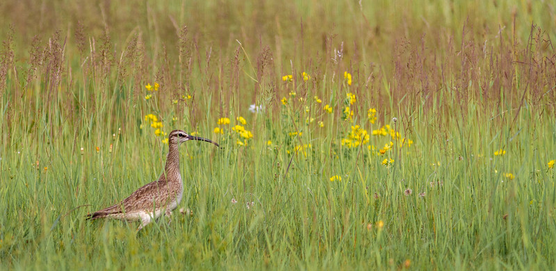 Whimbrel summering on Park Point Duluth MN -0266.jpg