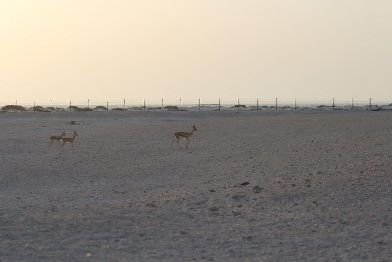 IMG_7140_Arabian Oryx_031.JPG