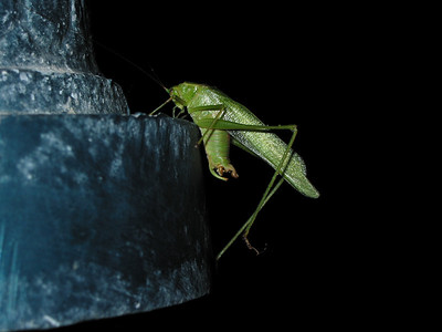 Katydids and Grasshoppers