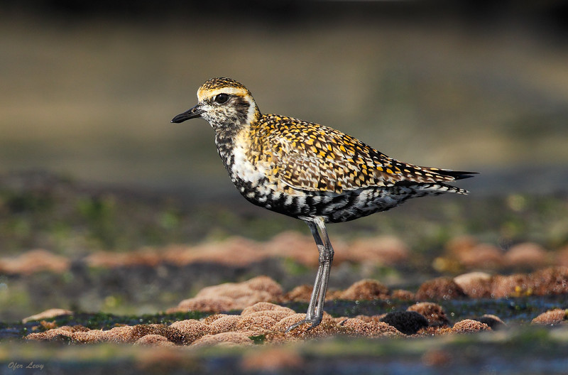Pacific Golden Plover 3.jpg