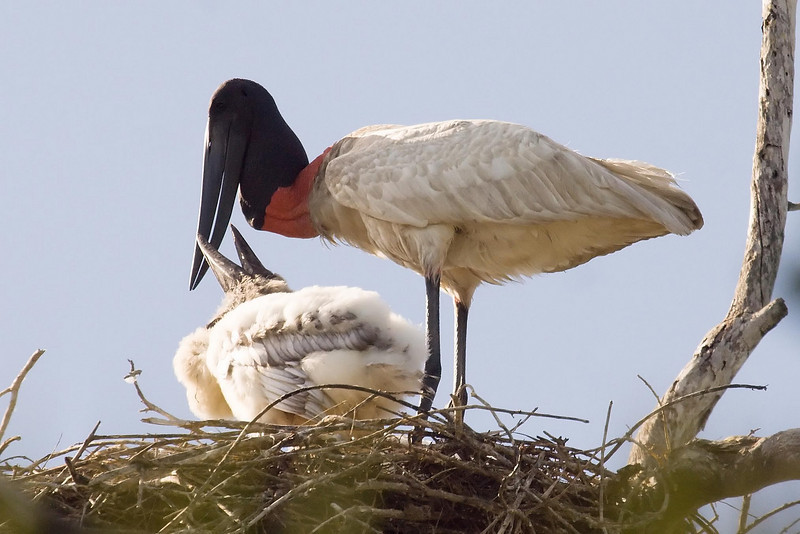Jabiru at nest with chick 3 at Ria Lagartos, Yucatan, Mexico (February 28, 2008).psd