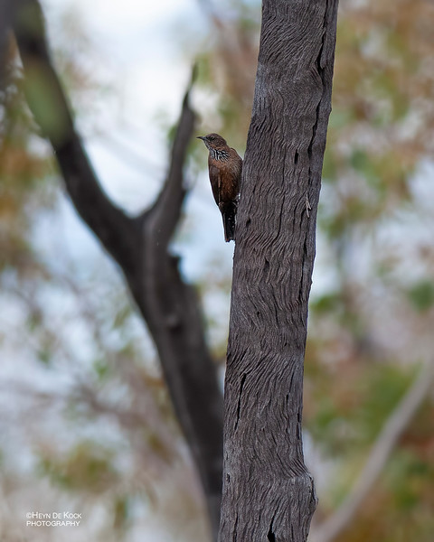 Black-tailed Treecreeper, Mt Isa, QLD, Sept 2010.jpg