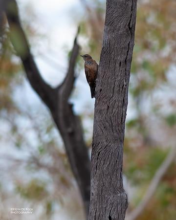 Black-tailed Treecreeper (Climacteris melanurus)