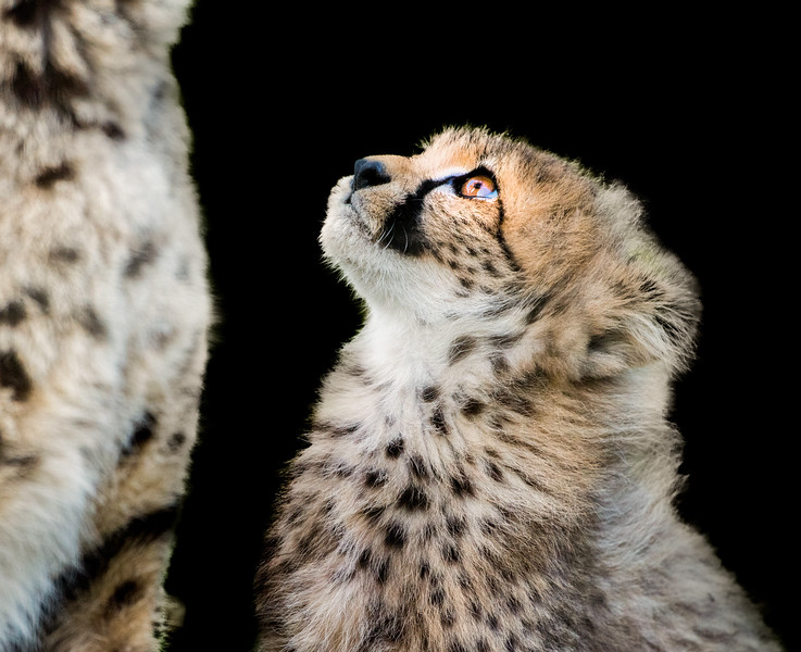 Sweet cheetah cub looking up to his mother