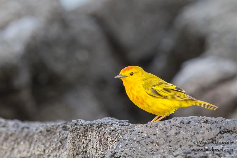 Yellow Warbler - Punta Espinosa, Isla Fernandina, Galapagos, Ecuador