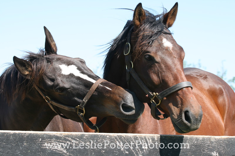 Thoroughbred Horses in Halters