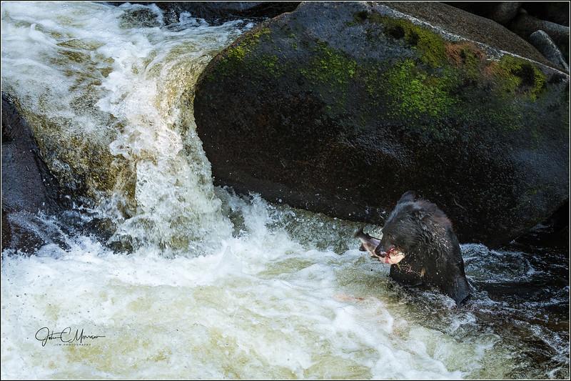 J85_6625 Bear w fish in creek L W.jpg