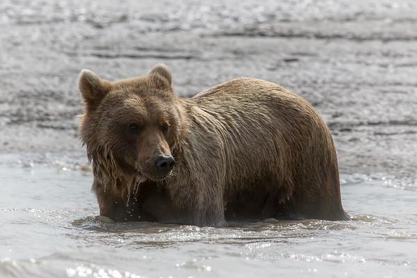 Brown Bears in Kenai Peninsula