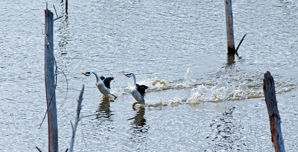 GREBES of Lake Hodges