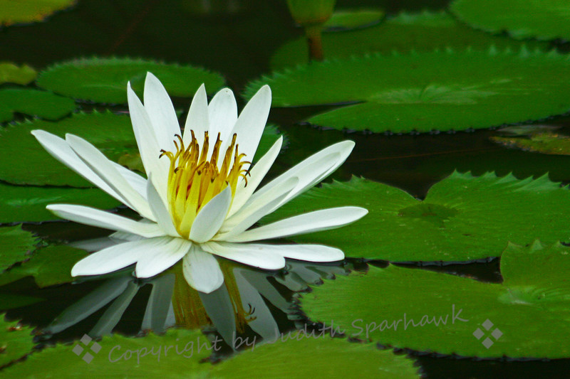 White Water Lily ~ The reflecting pond in Balboa Park in San Diego has several types of waterlilies.  I had never seen this white kind before, and liked its shape and  the reflection.