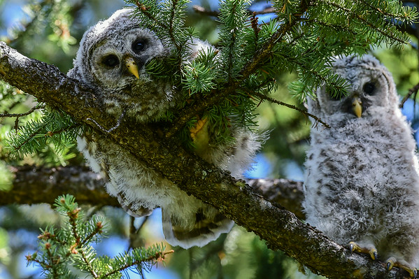 7-01-14 Barred Owl Family II