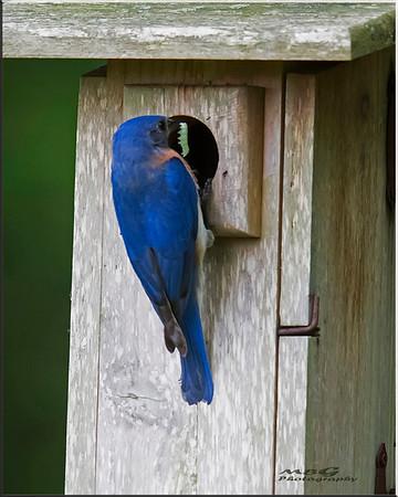 2018 Eastern Bluebirds