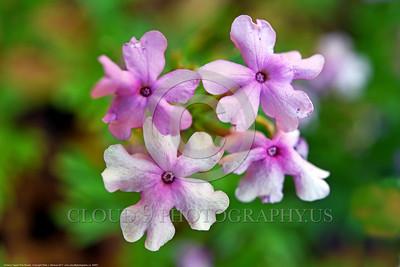 Verbena Tapien Pink Flower Pictures