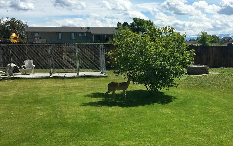Yard deer 2.JPG