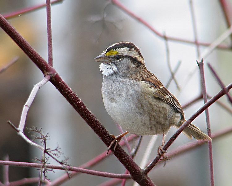 white_throated_sparrow_0475.jpg