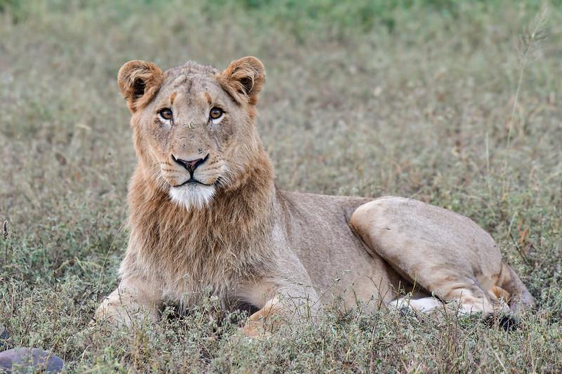 Juvenile male lion stare