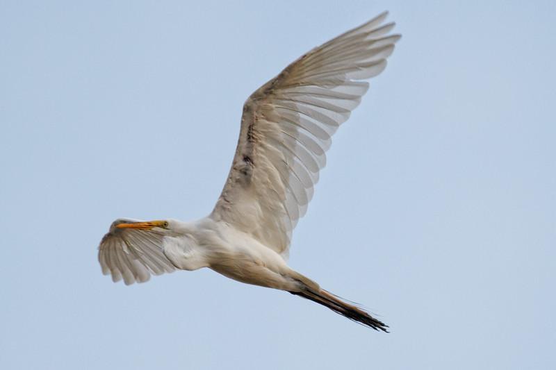GW Egret in Flight