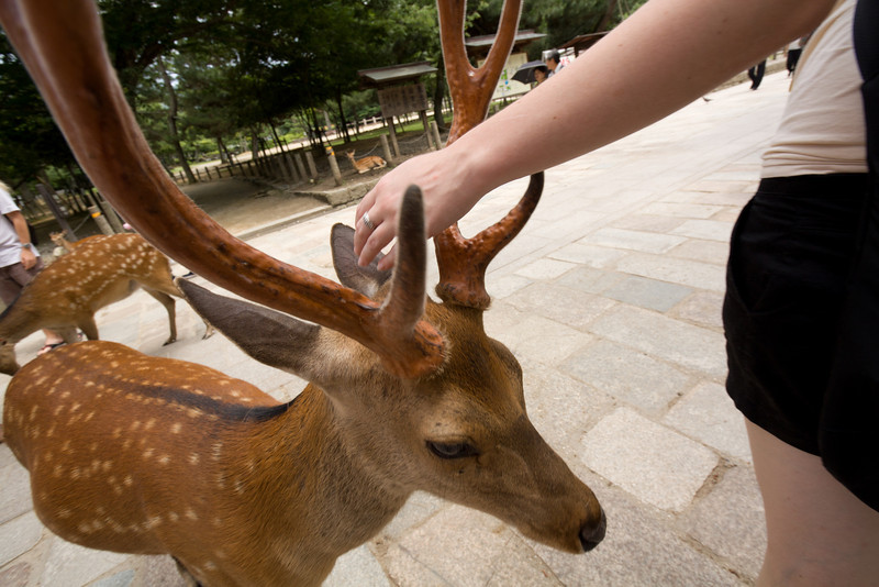 Every October the deer have their horns trimmed off to protect visitors to Nara