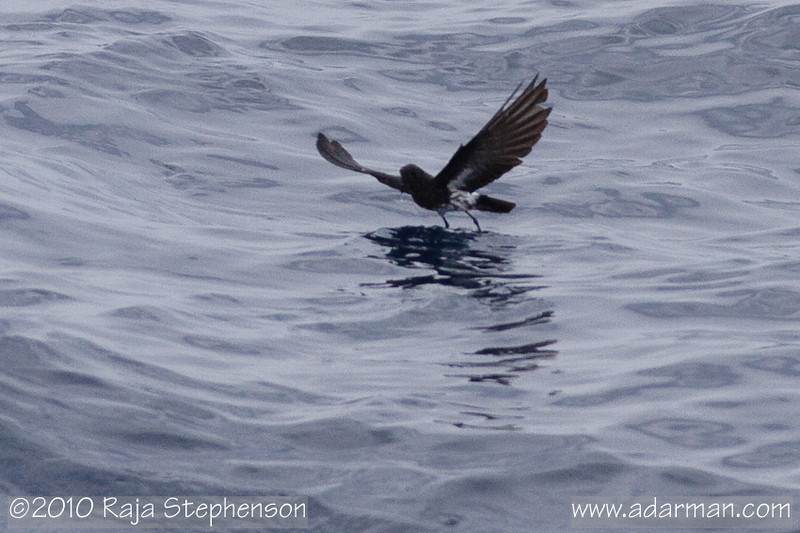 New Zealand Storm-petrel 
