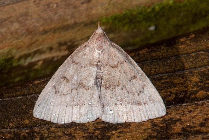 Zanclognatha - Wavy-lined - (Zanclognatha jacchusalis) - Dunning Lake - Itasca County, MN