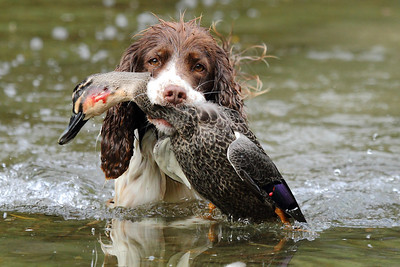 'Meg' and Game Bird Hunting