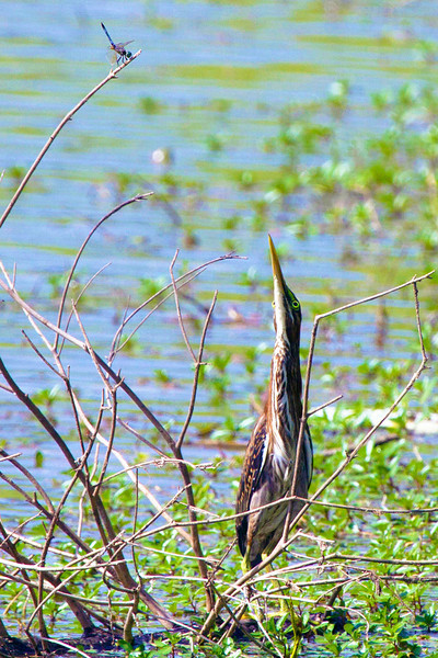 Green heron eyeing a dragonfly in the Meyerland Basin