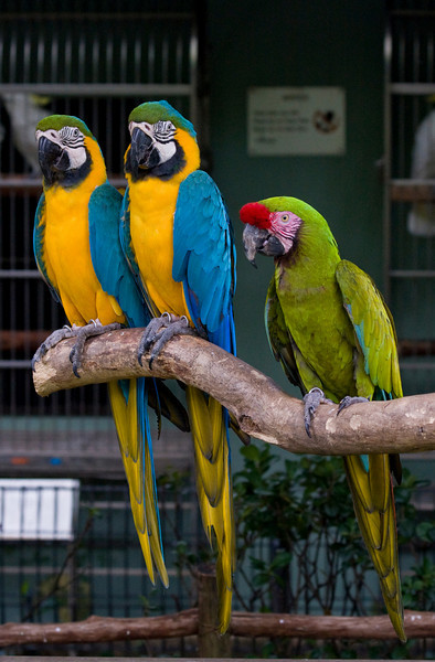 Parrots in Jurong BirdPark, Singapore