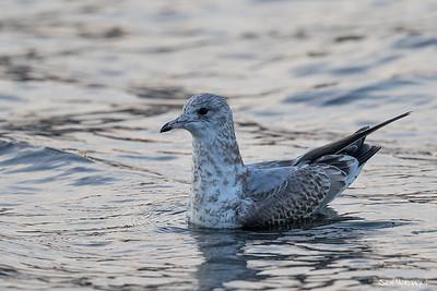 Vade-, måse- og alkefugler (Charadriiformes)