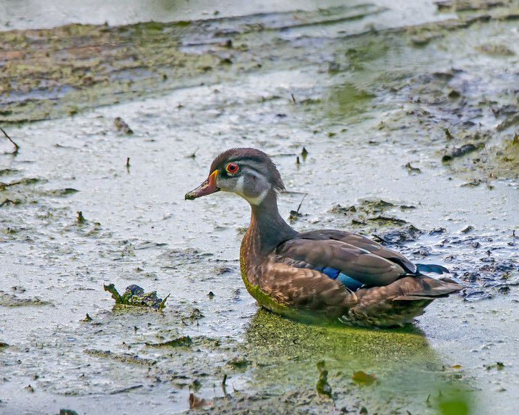 Wood Duck in the Muck