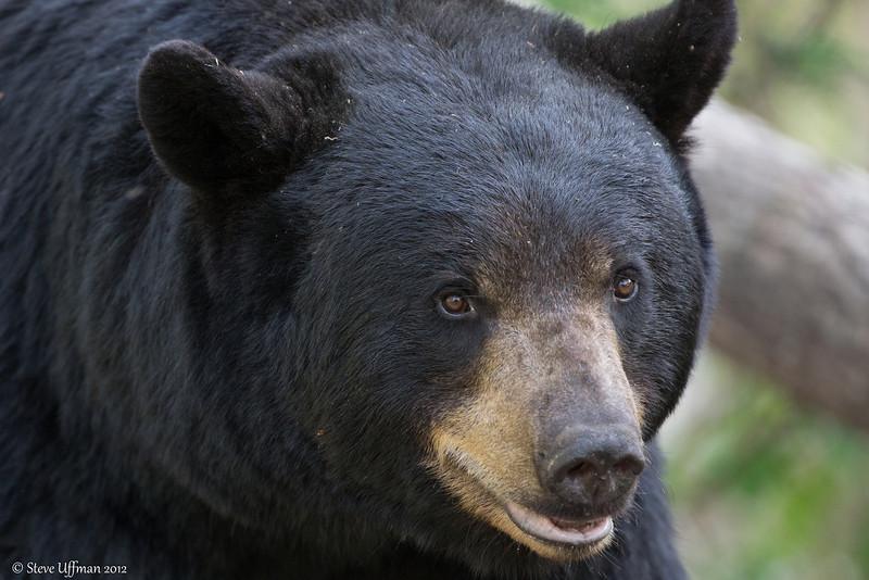 20120518-_Q2C5820Black_Bears.jpg