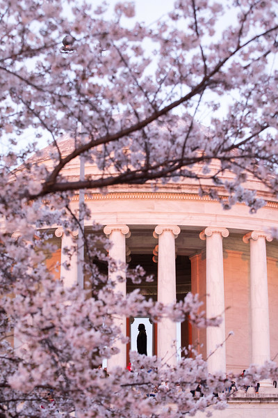 Jefferson Memorial surrounded by cherry blossoms