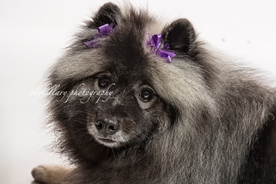 Rosie the Keeshond