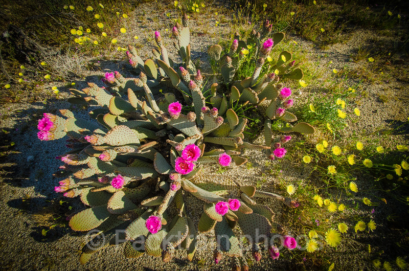 Beavertail Cactus in Bloom - BT - 1